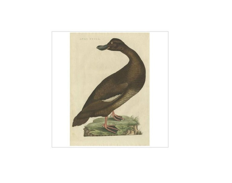 Antique print titled 'Anas Fusca'. The velvet scoter (Melanitta fusca), also called a velvet duck, is a large sea duck, which breeds over the far north of Europe and Asia west of the Yenisey basin. The genus name is derived from Ancient Greek melas