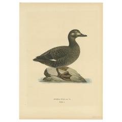 Antique Bird Print of the Velvet Scoter by Von Wright '1927'