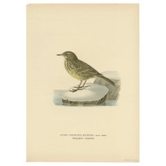 Antique Bird Print of the Water Pipit by Von Wright '1927'