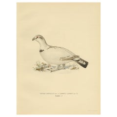Antique Bird Print of the Western Capercaillie 'Male' by Von Wright, 1929