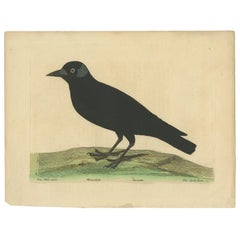 Antique Bird Print of the Western Jackdaw by Albin 'circa 1738'