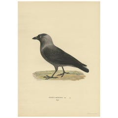 Antique Bird Print of the Western Jackdaw by Von Wright, 1927