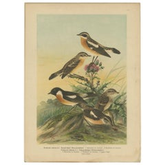 Antique Bird Print of the Whinchat by Naumann, circa 1895