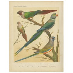 Antique Bird Print of the White-Eared Conure, Malabar Parrakeet and Other