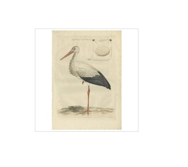 Antique print titled 'Ardea Ciconia'. The white stork (Ciconia ciconia) is a large bird in the stork family Ciconiidae. Its plumage is mainly white, with black on its wings. Adults have long red legs and long pointed red beaks, and measure on