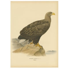 Antique Bird Print of the White-Tailed Eagle by Von Wright, 1917