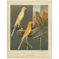 Antique Bird Print of the Yorkshire Canaries, Clear Buff, Clear Yellow and Other