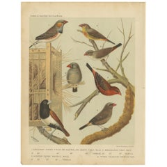 Antique Bird Print of the Zebra Finch and Tricolored Parrotfinch and Others