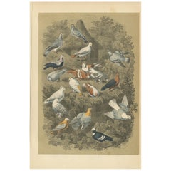 Antique Bird Print of Various Pigeons, 1853