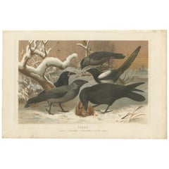 Antique Bird Print of Various Ravens by Brehm, '1883'