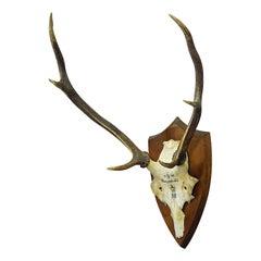 Antique Black Forest Deer Trophy from Salem - Germany, Hungerbuel 1910