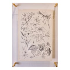 Antique Botanical Print in Acrylic Frame