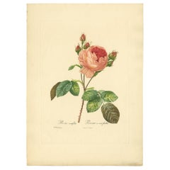 Antique Botany Print of a Rosa Centifolia 'Provence Rose' after P.J. Redouté