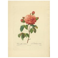 Antique Botany Print of a Rosa Gallica 'French rose' Made after P.J. Redouté