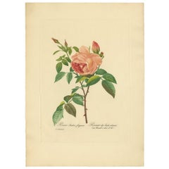 Antique Botany Print of a Rosa Indica 'pink rose' Made after P.J. Redouté