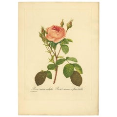 Antique Botany Print of a Rosa Muscosa 'Moss Rose' Made after P.J. Redouté
