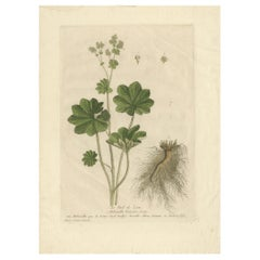 Antique Botany Print of Alchemilla by Regnault, 1774