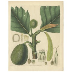 Antique Botany Print of Breadfruit by Walworth, 1828