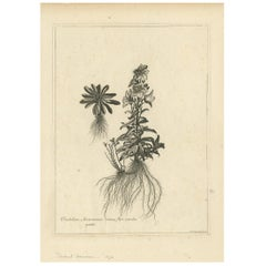 Antique Botany Print of Campanula Americana by Dodart 'circa 1680'