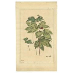 Antique Botany Print of Hydrastis Canadensis by Miller '1759'