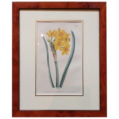 Antique Botany Print of Narcissus Tazetta or Polyanthus Narcissus by Curtis