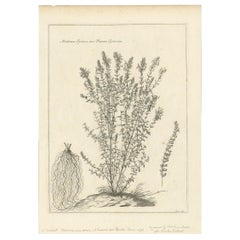 Antique Botany Print of Origanum Syriacum by Dodart, circa 1680