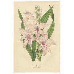 Antique Botany Print of the Gladiolus Floribundus, 1847
