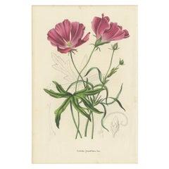 Antique Botany Print of the Large-Flowered Nuttalia, 1847
