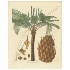 Antique Botany Print of the Sage Palm Tree by Walworth, 1828