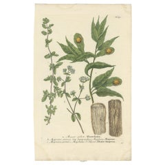 Antique Botany Print of Winter Marjoram and other plants by Weinmann, circa 1740