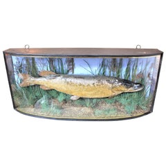 Antique Bow Front Glass Case 20 Century 1907 Taxidermy Preserved Study Pike Fish