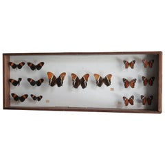 Antique Butterfly Collection Glass Shadow Box Wall Decoration, Spain, 1970