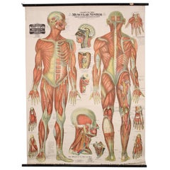 Antique Chart of The Muscular System by Gustave H. Michel