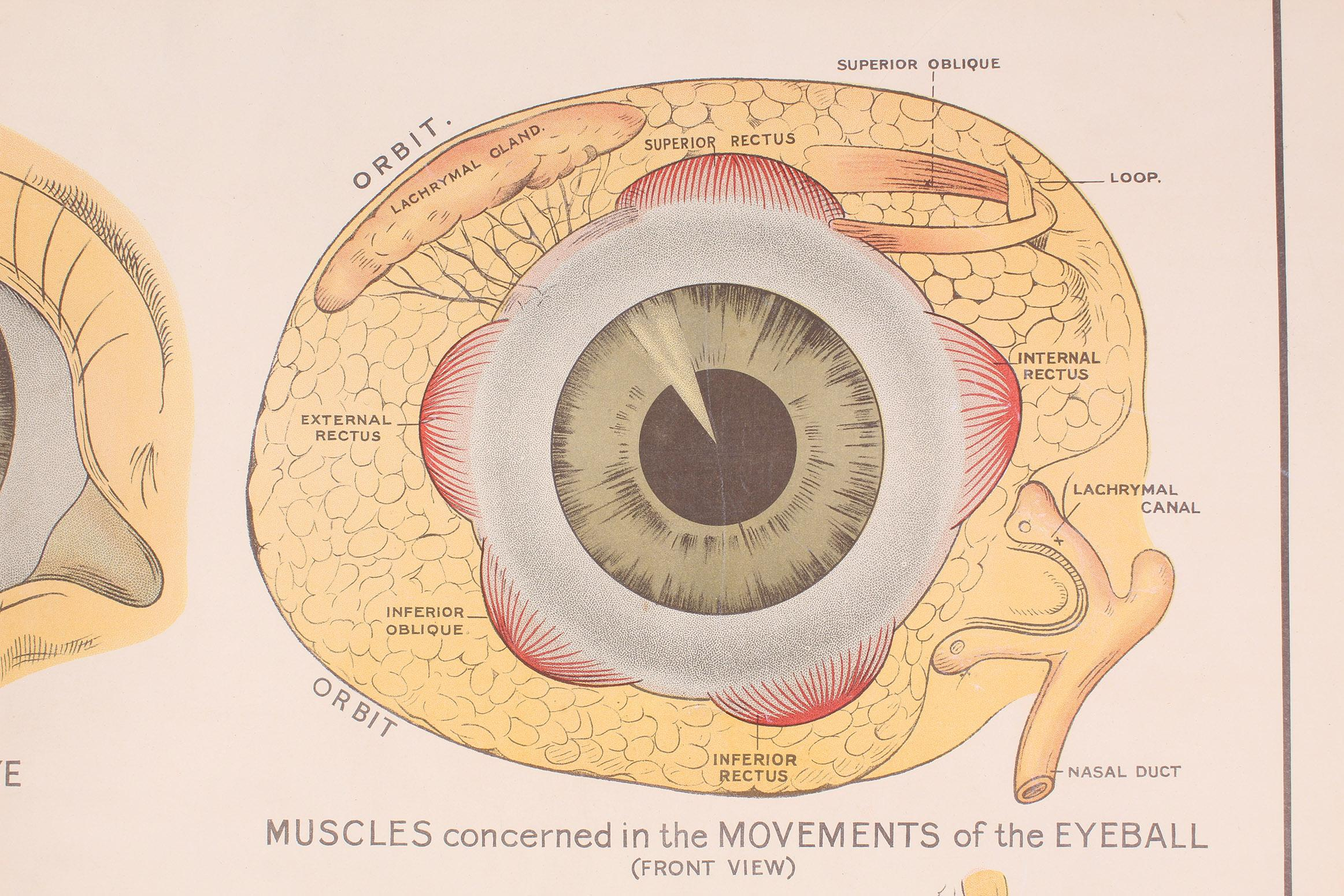 Antikes Diagramm The Structure Of The Eye Von Robert E Holding Bei
