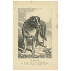 Antique Dog Print of the Saint Bernard, circa 1900