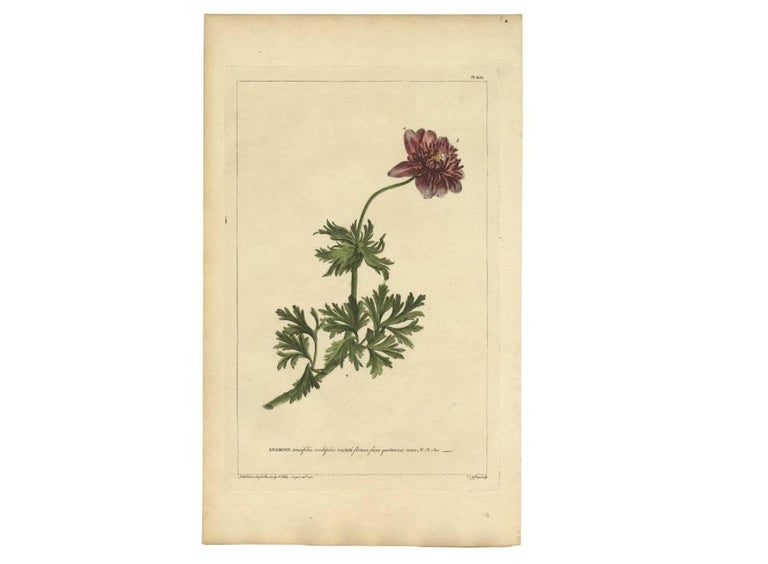 18th Century Antique Flower Print 'Anemone' by P. Miller, 1755 For Sale