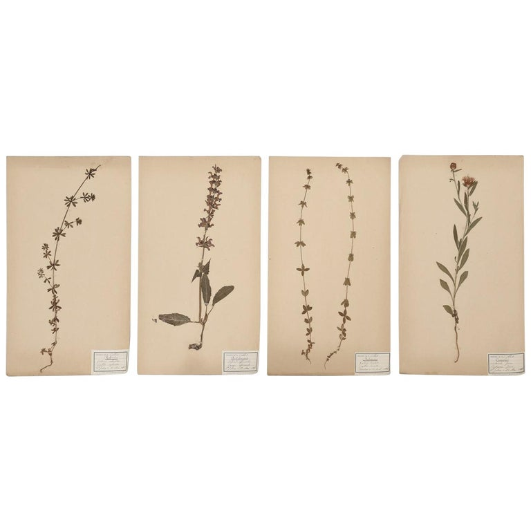 Antique French Pressed Botanical's, Set of 4 For Sale