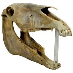 Antique Horse Skull