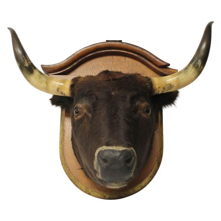 Antique Lifesize Bull Head Taxidermy
