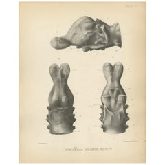 Antique Paleontology Print of the Skull of a Tinoceras Ingens by Marsh