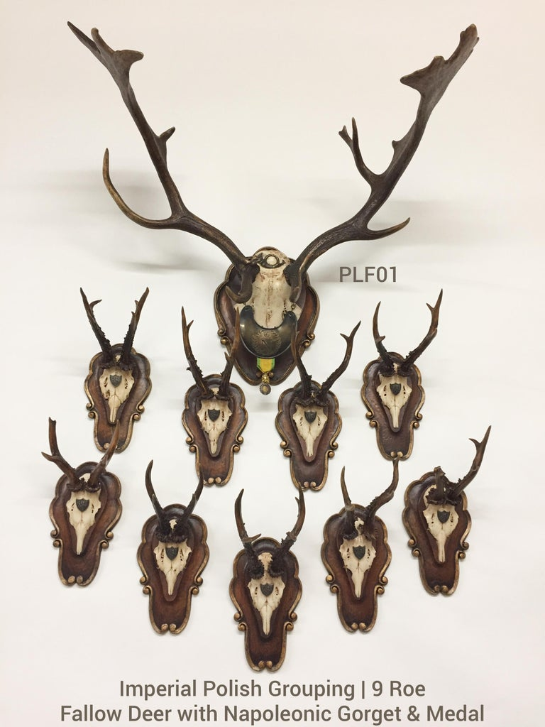 This is a beautiful grouping of historical, antique hunt trophies which includes a fallow trophy and nine (9) roe deer trophies on original, hand carved wood plaques with gilt detail. The fallow trophy os decorated with an original hunt horn medal