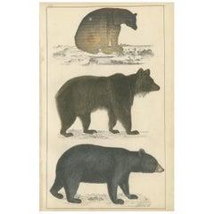 Antique Print of a Black Bear, Brown Bear and Polar Bear, circa 1850