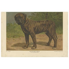 Antique Print of a Boxer Dog by Th. Breidwiser, 1879