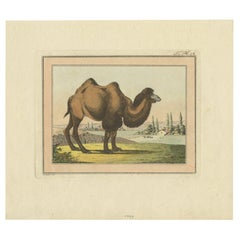 Antique Print of a Camel by Geissler, 'c.1820'