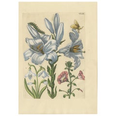 Antique Print of a Lily and Moth Metamorphosis by Merian, '1730'