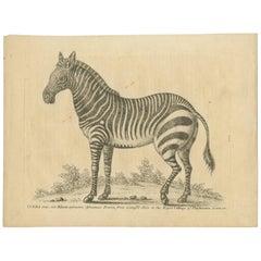 Antique Print of a Male Zebra by Edwards, '1758'