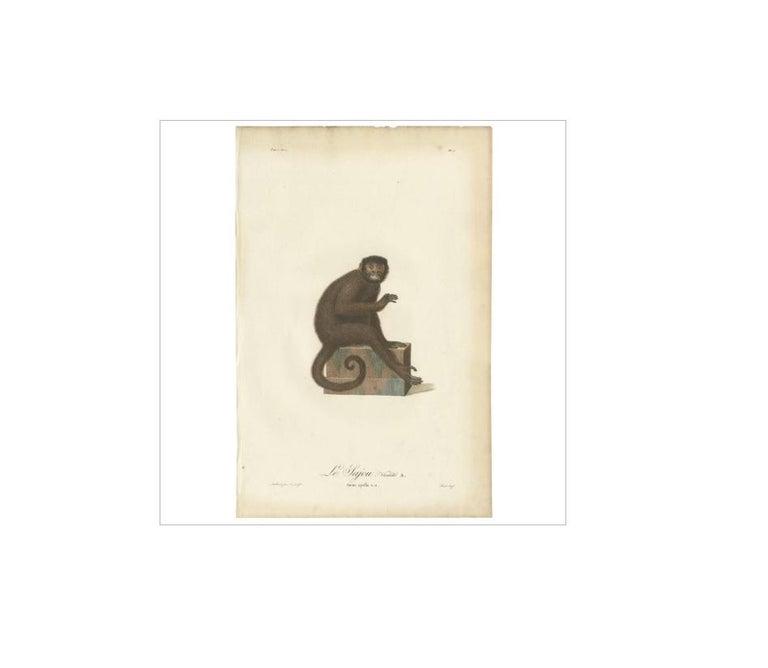 Antique print titled 'Le Sajou. Variété A. Simia apella v.a.'. This rare, folio engraving with original hand-finished coloring is from Jean-Baptiste Audebert's 'Histoire naturelle des singes et des makis'. The work was published in Paris by Desray