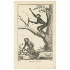 Antique Print of a Red-Faced Spider Monkey and a Sajou by D. Diderot, 1751