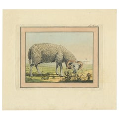 Antique Print of a Sheep by Geissler, 'c.1820'