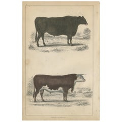 Antique Print of a Suffolk Ox and Herefordshire Bull by Fullarton, circa 1850